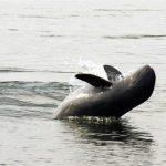 Irrawaddy Dolphin at Ban Hang Khone, Laos Trips