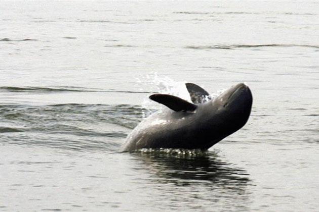 Irrawaddy Dolphin at Ban Hang Khone