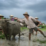 Buffalo riding on the field in Living Land Farm