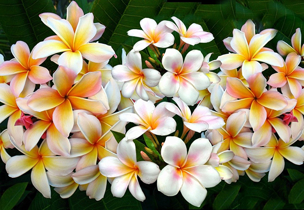 Frangipani or Dok Champa is Lao's national flower