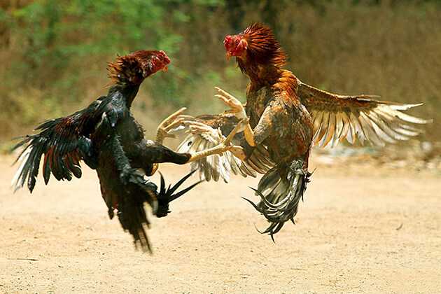 Cock-Fighting-Game-in-Laos, Laos tours