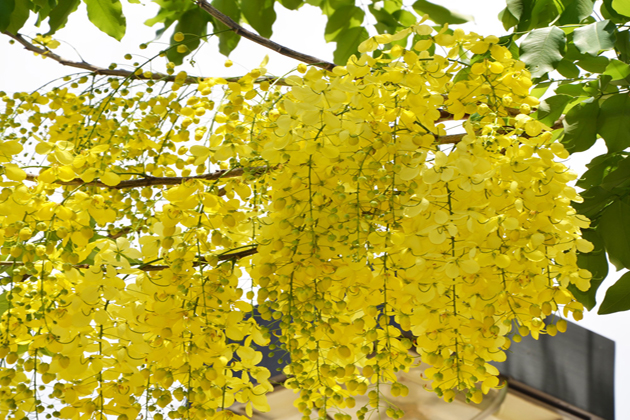 Khun Flower – the Symbol of Luck in Laos