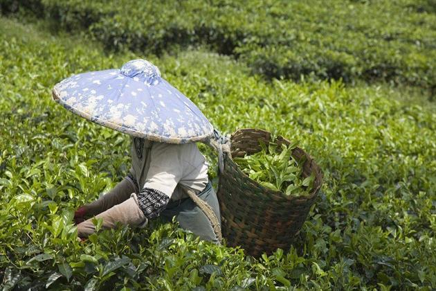 laos tea