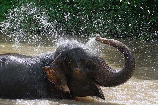 Elephant bathing in Laos, laos family tours